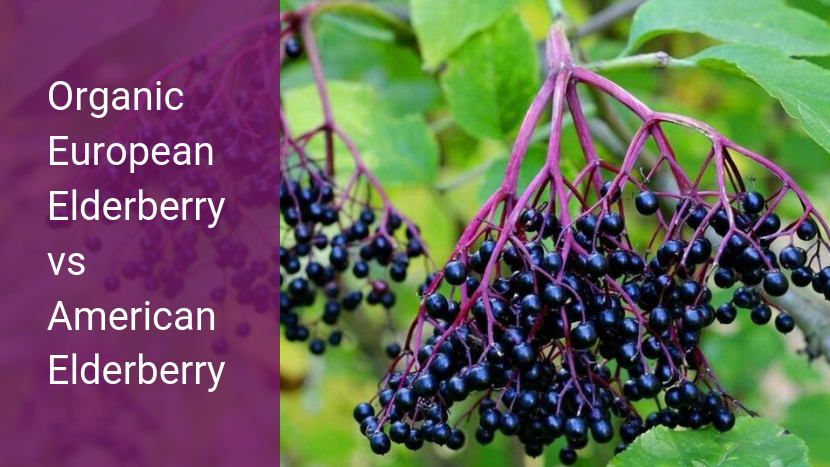 Organic European Elderberry vs American Elderberry — Key Questions To Ask Before You Buy