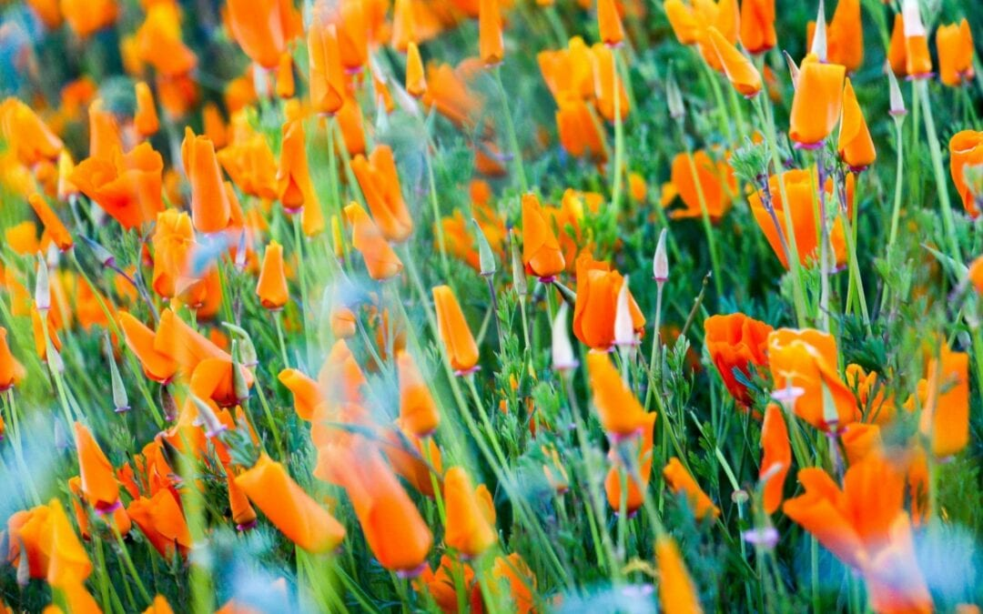 How To Use The California Poppy As A Natural Sedative and Pain Reliever